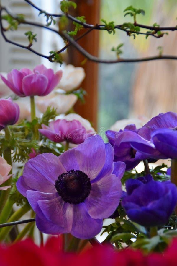 蓝色,紫色和桃红色银莲花属 免版税库存照片