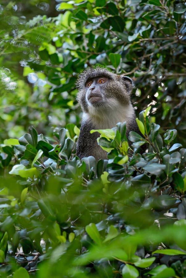 蓝色猴子-长尾猴属mitis,肯尼亚,非洲 库存照片