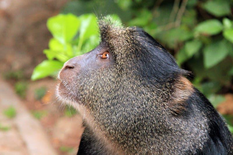 蓝色猴子 免版税库存图片