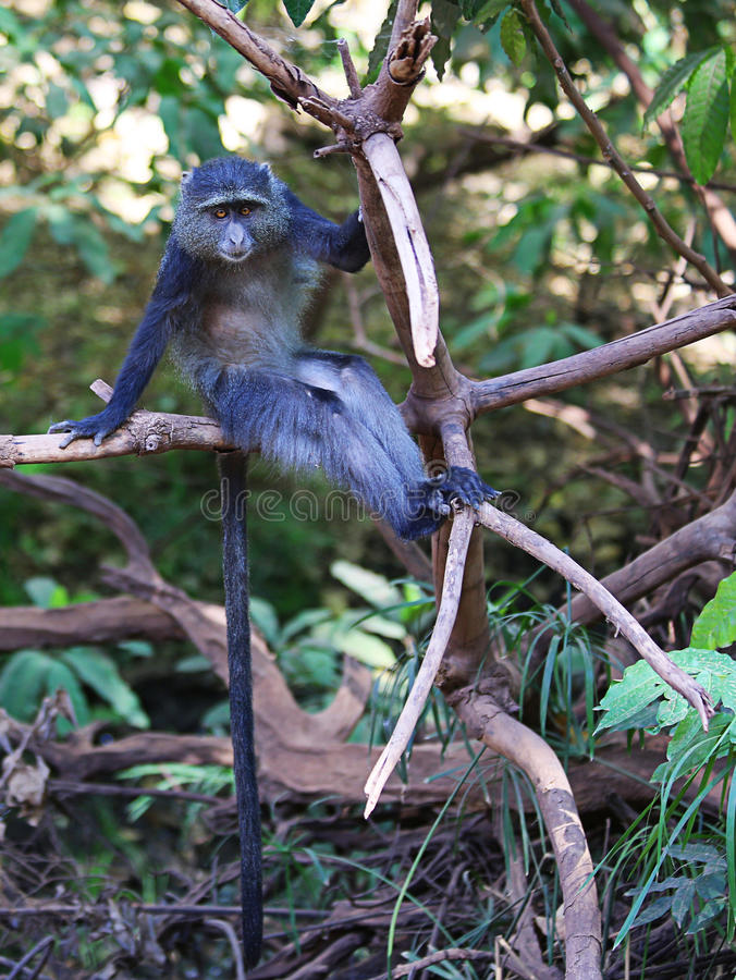 蓝色猴子 图库摄影