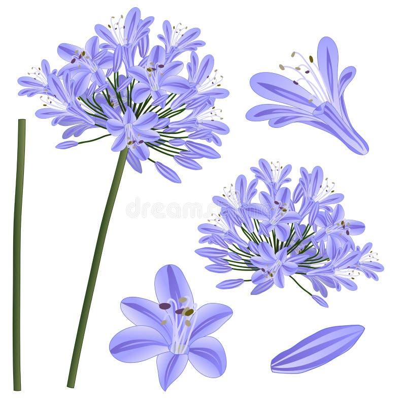 蓝色紫色爱情花-爱情花,非洲百合 也corel凹道例证向量 背景查出的白色 库存例证