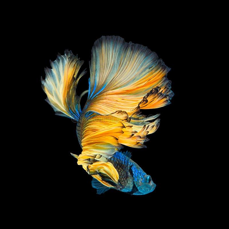 蓝色黄色长尾巴半月Betta或暹罗战斗的鱼Sw 免版税图库摄影