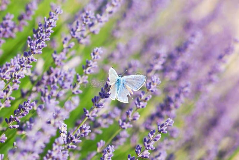 蓝色蝴蝶和淡紫色花 库存图片