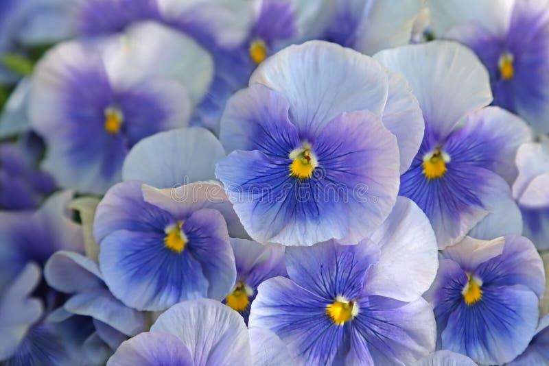 蓝色蝴蝶花(中提琴) 库存图片