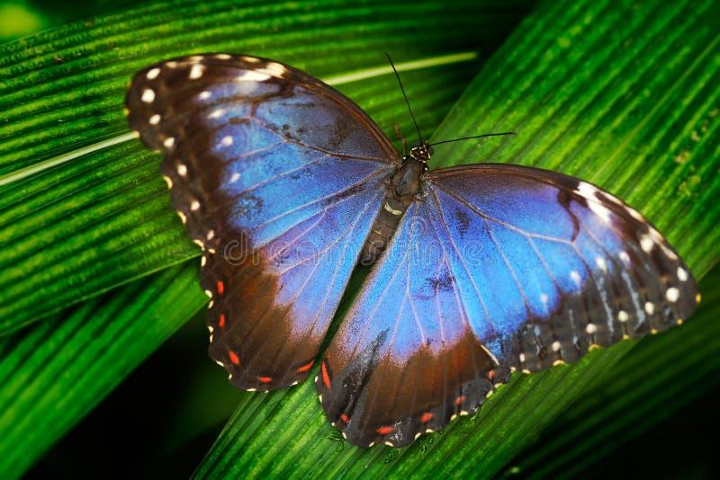 蓝色蝴蝶 蓝色Morpho, Morpho peleides,大蝴蝶坐绿色叶子 美丽的昆虫在自然栖所, wildl 免版税库存照片