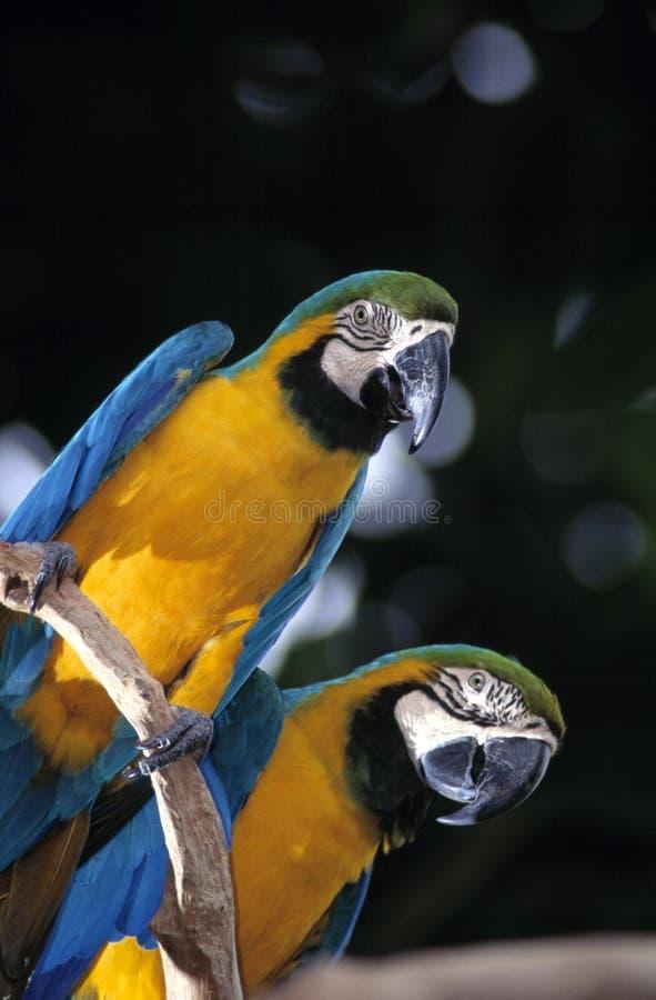 蓝色&金金刚鹦鹉 库存图片