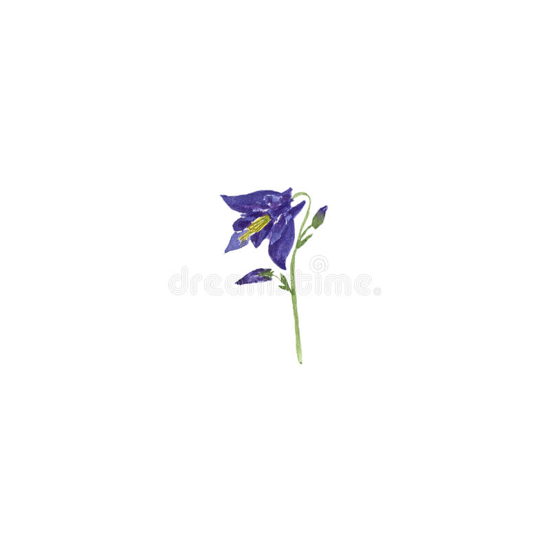 蓝色aquilegia花植物的水彩例证剪影在白色背景的 向量例证