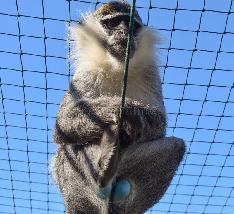 蓝色Balled黑长尾小猴 与蓝色睾丸的猴子在囚禁 库存照片