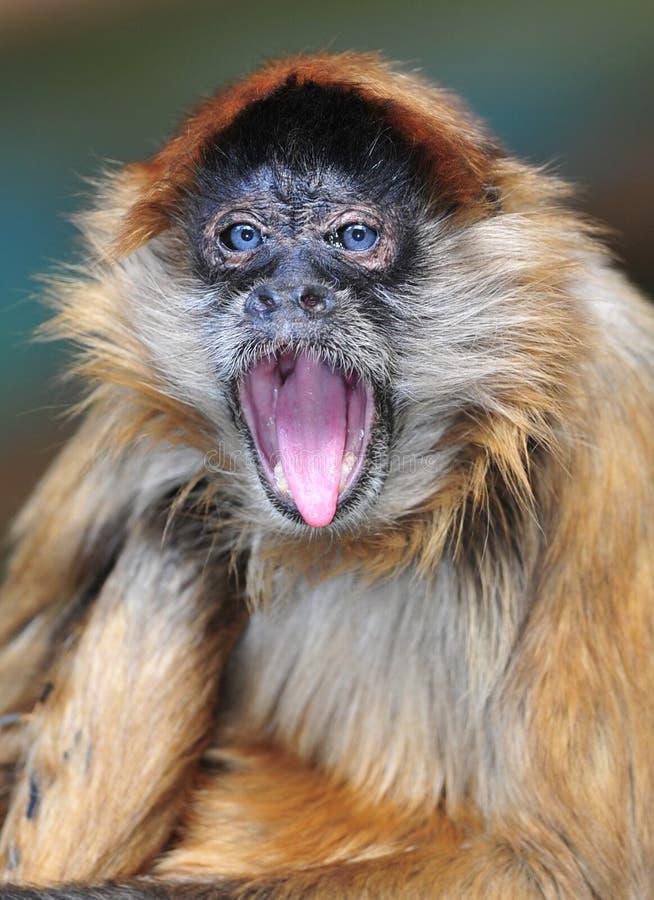 蓝色chagres注视猴子nat巴拿马公园蜘蛛 免版税库存照片