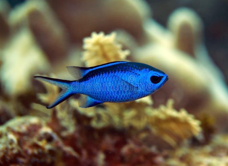 蓝色chromis鱼 库存图片