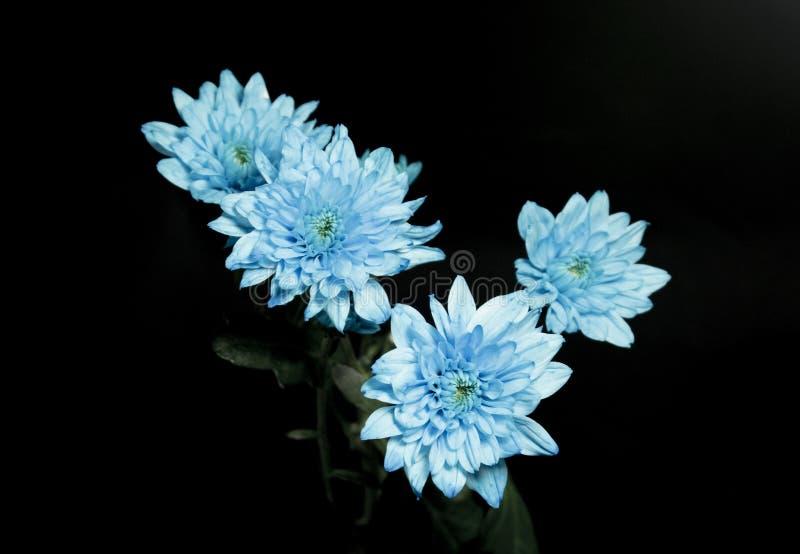 蓝色chrysanths花束在黑色设置了 库存照片