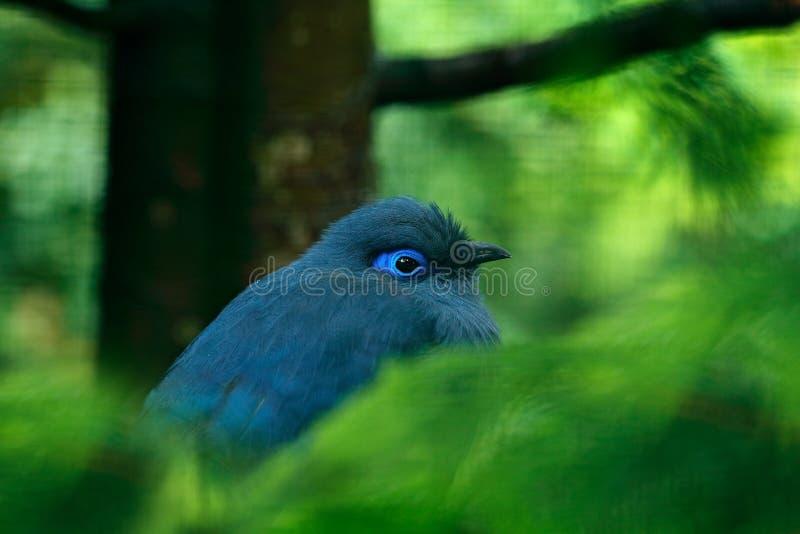 蓝色Coua, Coua coerulea,罕见的灰色和蓝色鸟与冠,在自然栖所 Couca坐分支, Madagacar 鸟的监视人 免版税图库摄影