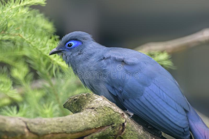 蓝色coua,Coua caerulea,Coua青斑鸟的种类在杜鹃家庭的,地方性到马达加斯加的海岛坐树 免版税库存照片