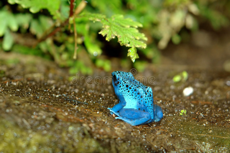 蓝色dendrobate 库存图片