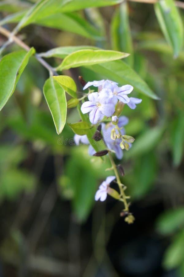 蓝色Duranta repens花在自然庭院里 免版税库存照片