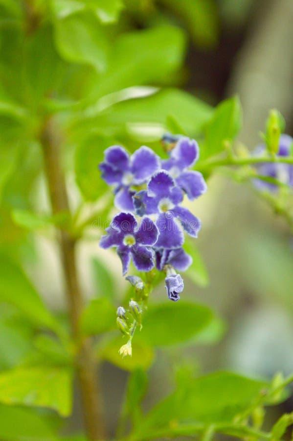 蓝色Duranta repens花在自然庭院里 免版税库存图片