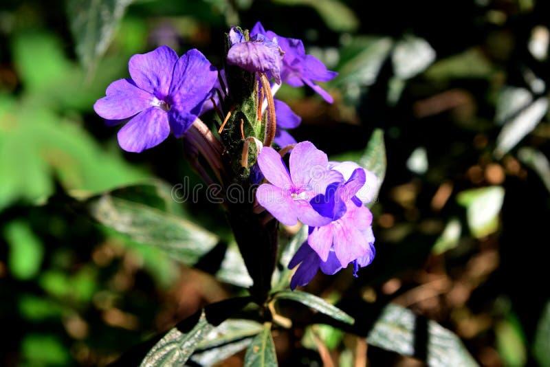 蓝色Eranthemum或Eranthemum pulchellum,共同的名字:蓝色贤哲 免版税图库摄影