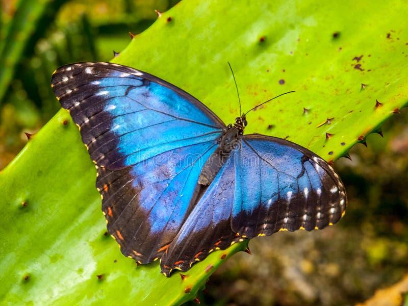 蓝色Morpho蝴蝶, Morpho peleides,坐绿色事假 免版税图库摄影