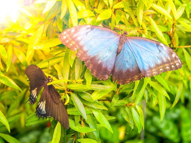 蓝色Morpho蝴蝶, Morpho peleides,坐绿色事假 图库摄影