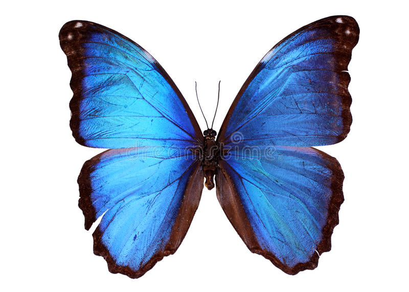 蓝色morpho 向量例证