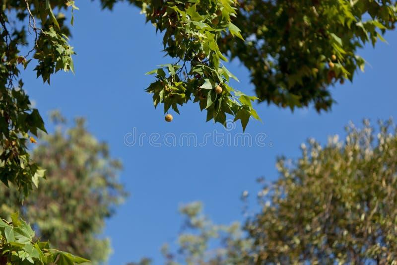 蓝色plantane天空结构树 免版税库存图片