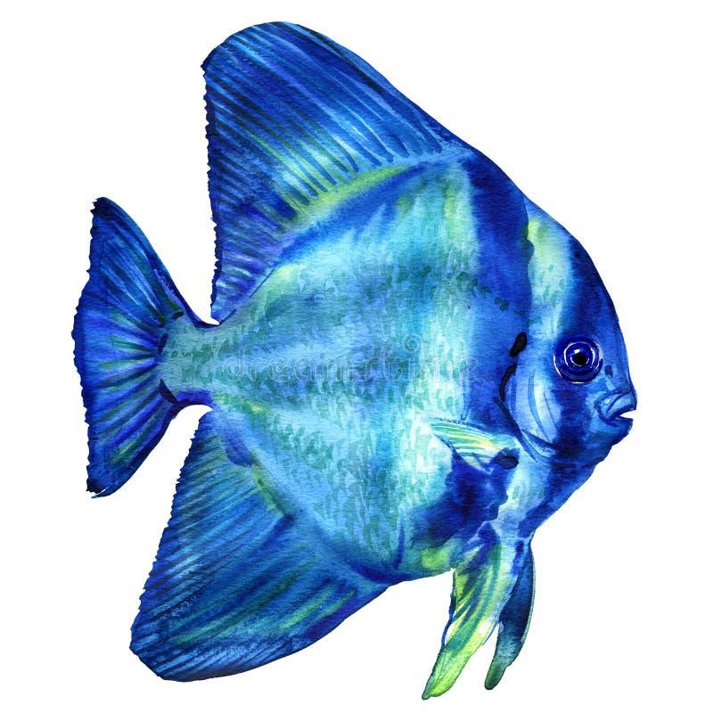 蓝色Teira蝙蝠鱼、platax或者细麟白鲳在海洋,泰国,被隔绝,水彩例证在白色 向量例证