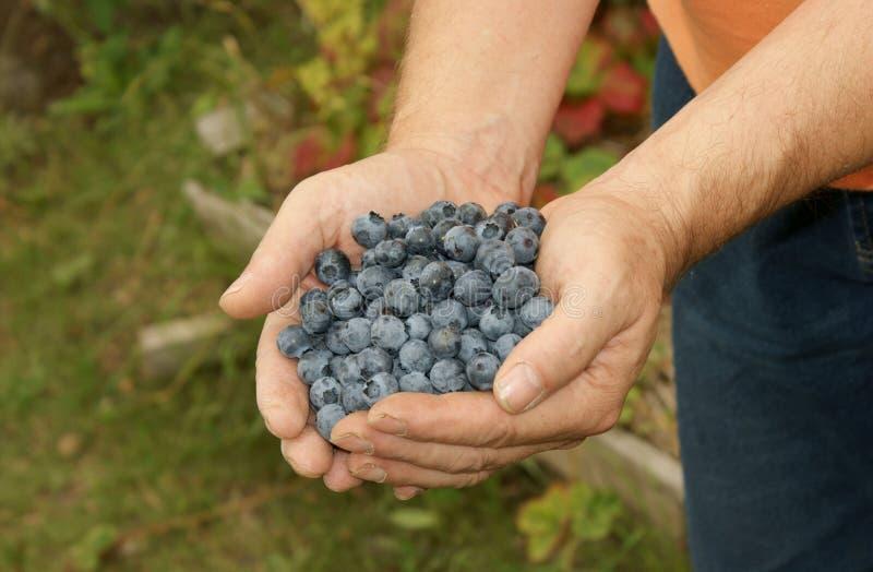蓝莓充分的现有量 库存照片