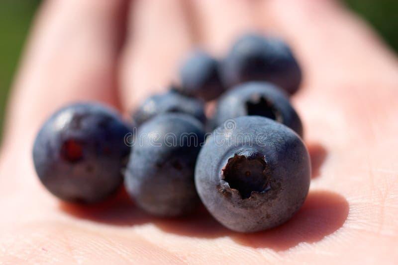 蓝莓关闭  免版税库存照片