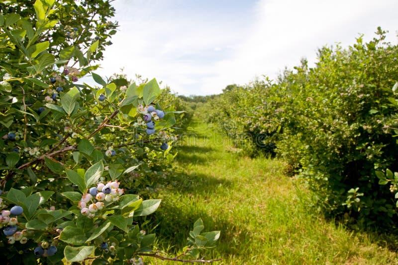 蓝莓农场 免版税库存照片