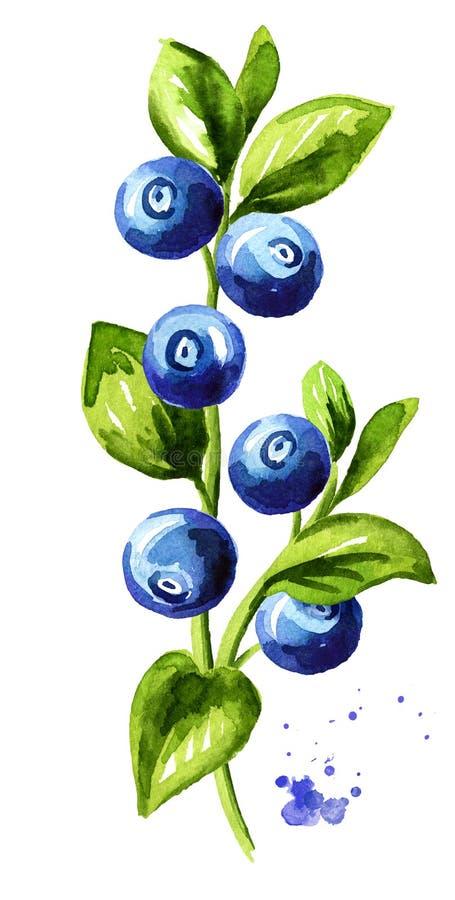 蓝莓分支 与叶子的新鲜的莓果 手拉的水彩垂直的例证,隔绝在白色背景 向量例证