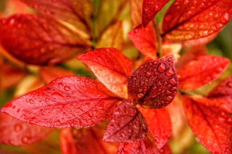 蓝莓叶子 免版税库存图片