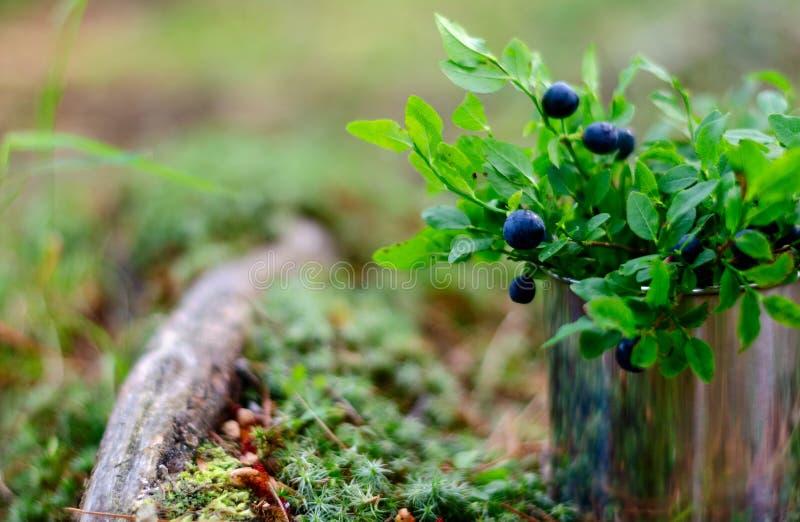 蓝莓和越桔在杯子在夏天森林里 图库摄影