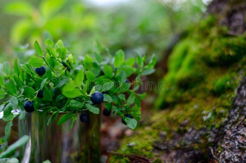 蓝莓和越桔在杯子在夏天森林里 库存照片