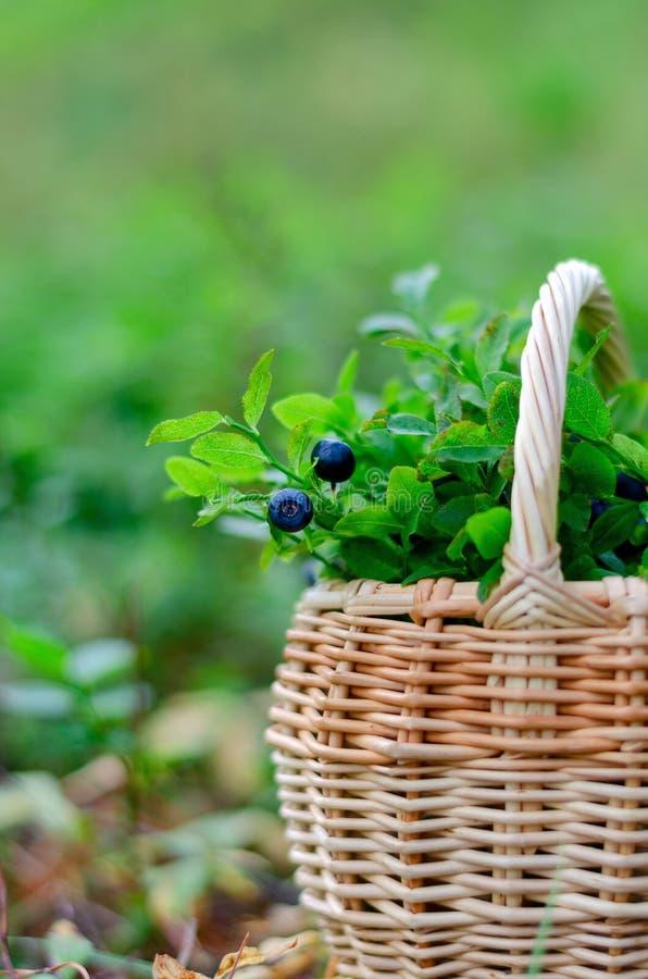 蓝莓和越桔在篮子在夏天森林里 库存图片