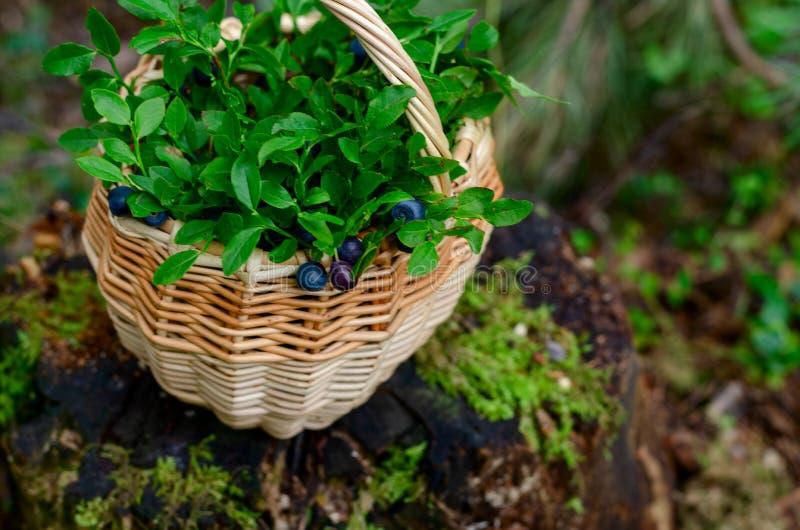 蓝莓和越桔在篮子在夏天森林里 图库摄影