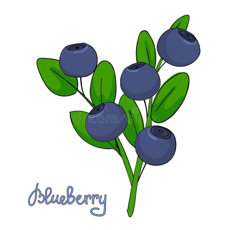 蓝莓小树枝  越桔叶子和莓果在分支的 森林植物美洲越桔 被隔绝的枝杈  向量例证
