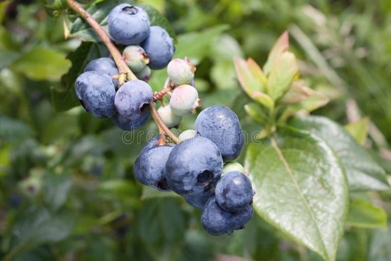 蓝莓早午餐 免版税库存照片