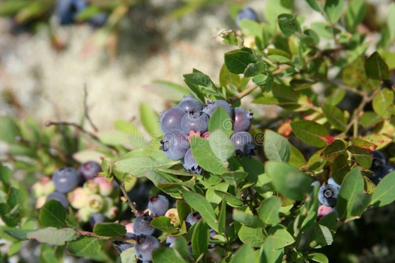 蓝莓星期日 库存照片