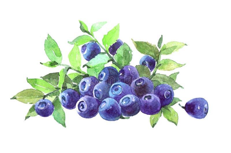 蓝莓植物水彩例证隔绝了 库存例证