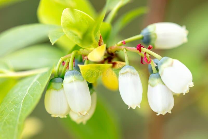 蓝莓灌木开花特写镜头,白色牛痘myrtillus成长 免版税库存图片