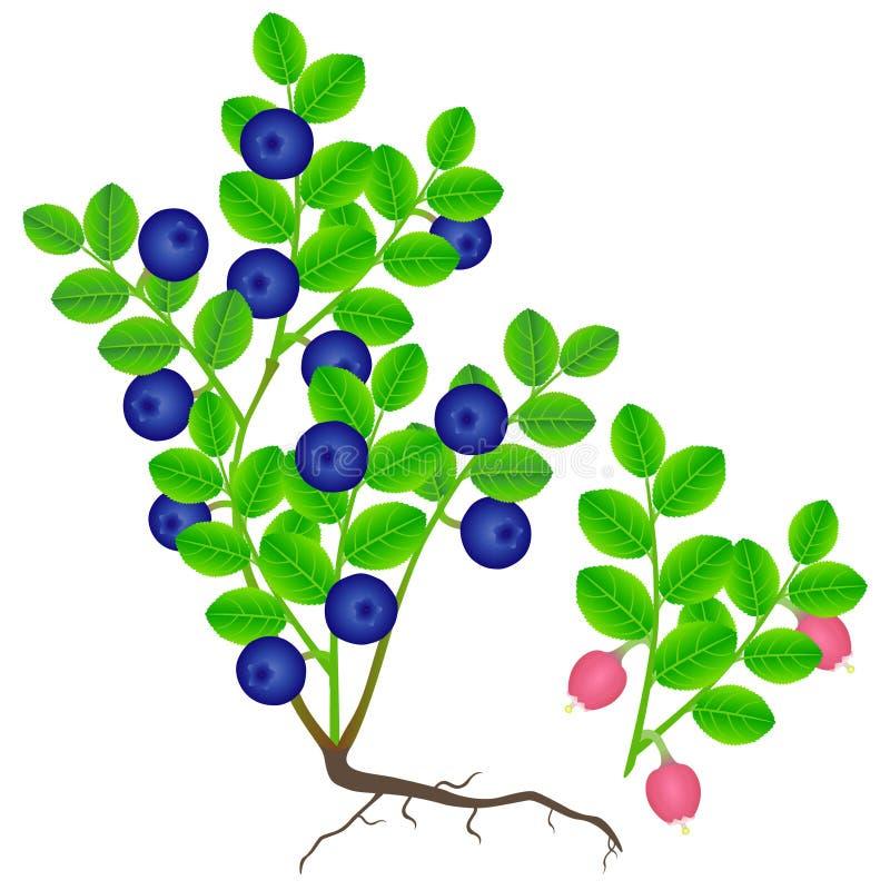 蓝莓灌木用莓果和开花的分支在白色背景 库存例证