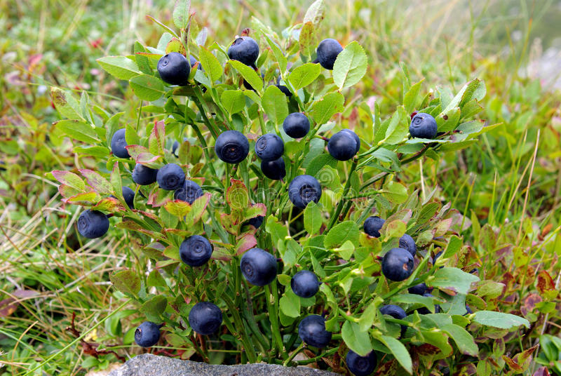 蓝莓灌木 免版税库存照片