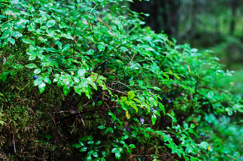 蓝莓灌木 免版税图库摄影