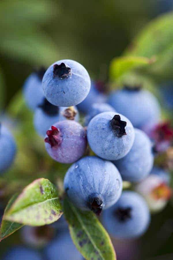 蓝莓生长特写镜头的领域通配 库存图片