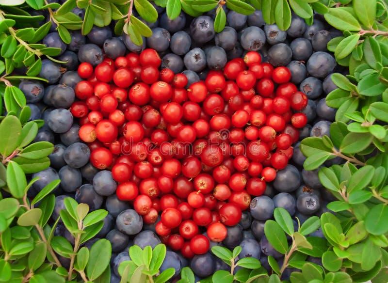蓝莓蔓越桔 库存图片