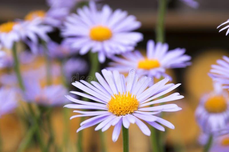 蓝蓝翠菊,在绽放的翠菊tongolensis 免版税库存图片