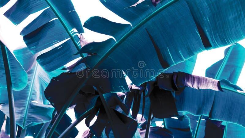 蓝香蕉叶背景热带叶 免版税库存图片