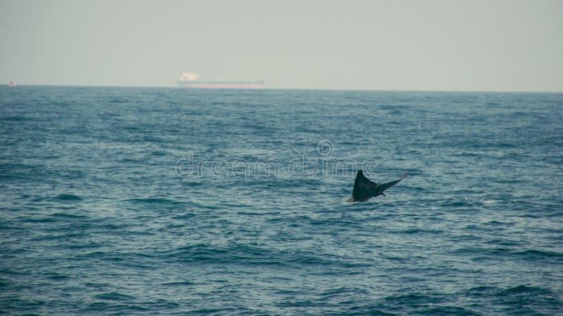 蓝鲸尾在印度洋 野生生物自然 在背景的驳船 冒险旅行,旅游业 Mirissa,斯里兰卡 库存照片