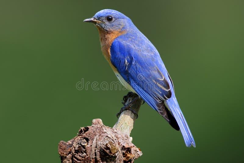 蓝鸫树桩 库存图片