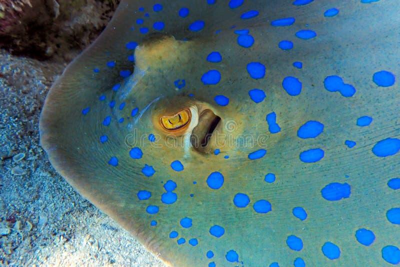 蓝 — 红海斑刺鱼,近身 图库摄影